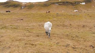 Icelandic White Horse Walks Across Moss Covered Ground Towards Camera 1