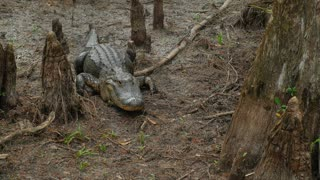 Large Fresh Water Alligator In A Florida Slough Marsh Laying On Ground Between Trees 02