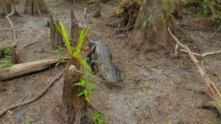 Large Fresh Water Alligator In A Florida Slough Marsh Walking And Laying Down On Ground