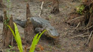 Large Fresh Water Alligator In A Florida Slough Marsh Walking Towards Camera