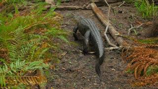 Large Fresh Water Alligator Walking Away In A Florida Slough