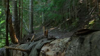 Moving Along A Fallen Tree In A British Columbia Forest 1