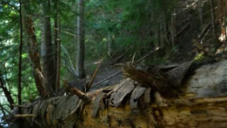 Moving Along A Fallen Tree In A British Columbia Forest 2