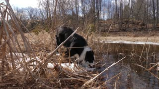 Young Border Collie Dog Drinking Water From Pond On A Farm 1