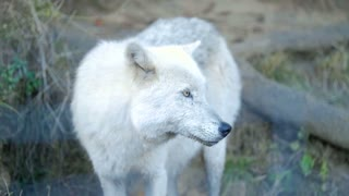 White Arctic Wolf standing on hill side paying close attention