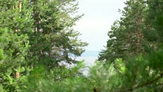 beautiful view of pine tree forest with green branches needles closeup evergreen