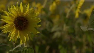 Bright yellow sunflowers swaying in the field slow motion