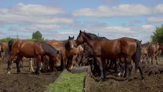 Brown horses eating hay in a farmyard