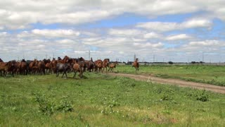 Herd of horses galloping on the background of green field