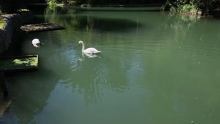 a pair of beautiful and white swans swim in clean water, birds in search of fish for eating, one of the animals dips the globe under the water