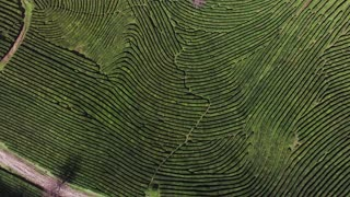 a view from above on the relief green territory, tea fields grow, soon people will collect leaves for brewing a drink