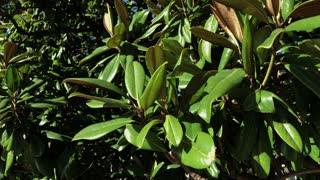 close up shot of a tree or shrub with green leaves, the plant is in the sun in spring or summer, in a park where the flower grows day