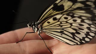 Close up shot of incredible butterfly sitting quietly sitting on the hand indoor. Beautiful ornament on the wings.