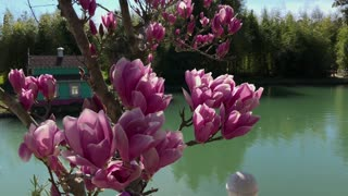 close up shot of the pink flowers of the tree, a magnolia blossoms near a small lake, on the opposite side there is a small house, a beautiful landscape