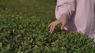 Close up shot of woman's hand slightly touching leaves on the bush. Beautiful sunny weather. Free time on nature.