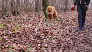 fluffy and funny dog is interested in the terrain around, the animal is running around the fallen autumn foliage, the owner is leading the animal on a leash