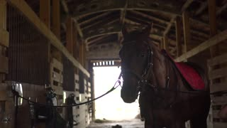 Woman rider puts a saddle on her horse and prepare animal for dressage