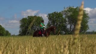 Young woman rider riding a horse on the field view throught the ears of wheat
