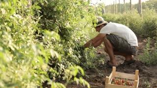 Farmer picking a cherry tomatoes on organic farm