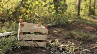 Farmer pours freshly harvest of cucumbers in the box