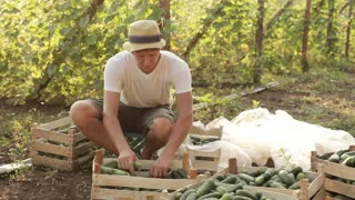 Farmer sort freshly cucumbers on the organic farm