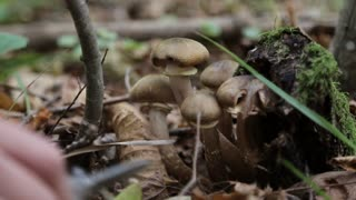 Human hands are cut mushrooms in the forest at autumn. Close-up.
