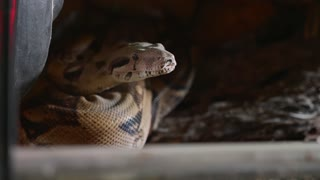 A close up of a snakes face, eyes, and tongue. Portrait of mperial boa