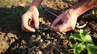 A farmer weeds the field, cleans weeds by hands around young plants