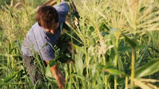 Farmer harvesting corn at field of organic eco farm.