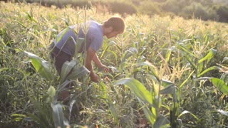 Young farmer with wooden box in hand harvesting ripe corn cobs on the field.
