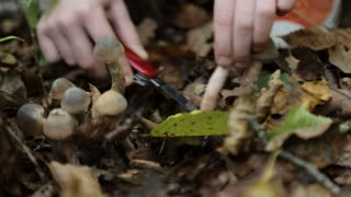 Young girl hands are cut mushrooms in the forest at autumn. Close-up.