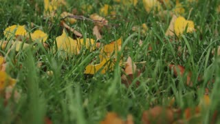 Autumn Leaves on the Grass With Dew