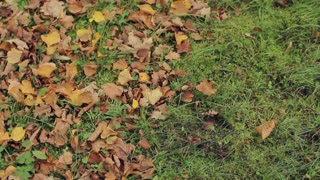 Autumn Leaves on the Lawn