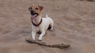 Dog Playing With a Stick on the Beach