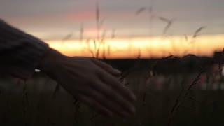 Female Hands Touch the Ears of Grass at Sunset