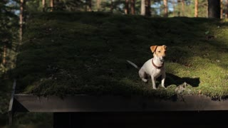 Jack Russell Dog Sitting on the Green Roof