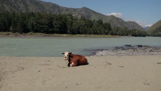 a cow lies on a mountain river beach