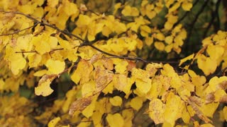Autumn Trees, Yellow Leaves