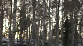 blurred view of the birch forest