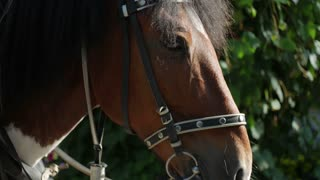 close-up brown harnessed horse