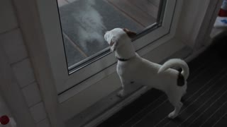 dog jack russel looks at the glass door