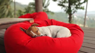 dog jack russell terrier is sleeping on a red pillow overlooking the tropical island