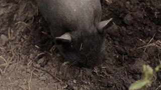 little black pig looking for food
