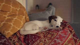 puppy jack russell terrier resting on the couch