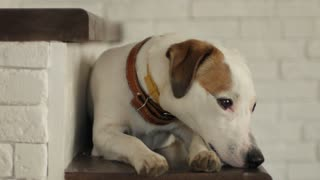 the restless dog jack russell terrier lies on the steps of the house