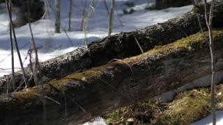 traveler walking along a fallen tree