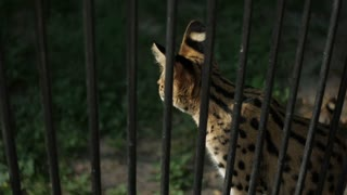 wild cat, leopard in the cage of the zoo