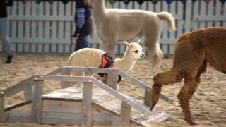 HELSINKI, FINLAND - NOVEMBER 11, 2016: Alpaca-baby on the animals show. Girls show alpacas admiring public. Agricultural Exhibition ELMA 2016 in Expocentre Messukeskus.