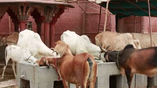 Indian Sacred animals cows eat feed from the trough at the walls of the temple.