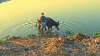A local farmer with a bull in a small river